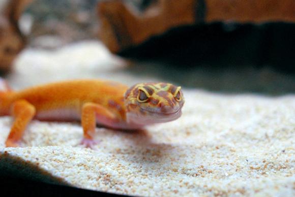 Leopard_gecko_3