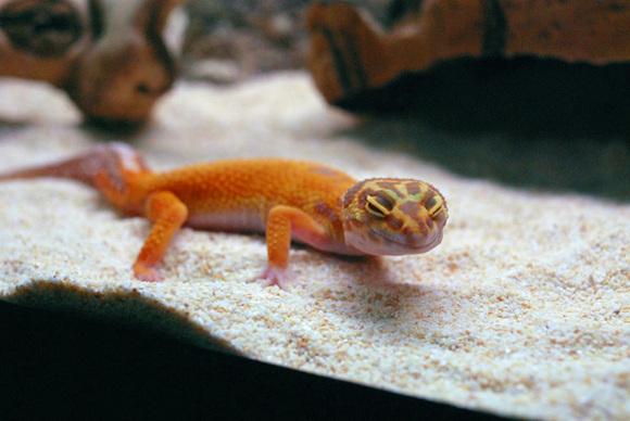Leopard_gecko_4