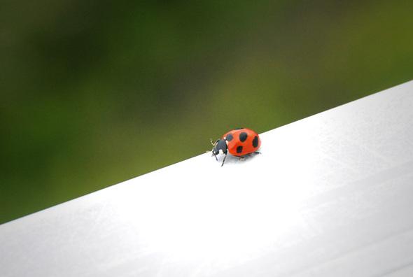 Ladybug_1
