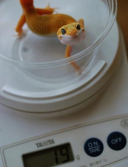 Leopard_gecko_07