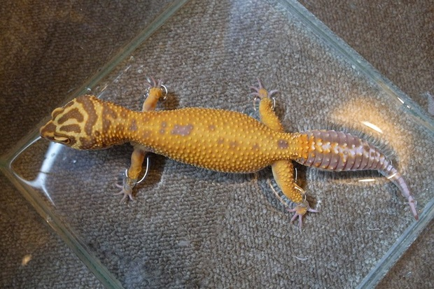 Leopardgecko_unshed_5
