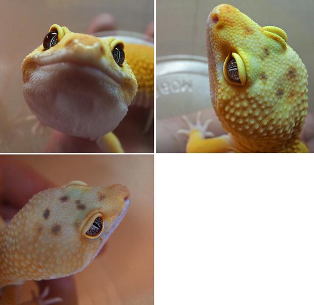 Leopardgecko_unshed_9