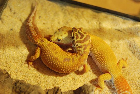 Gecko_pairing_01
