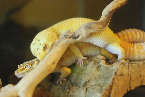 Gecko_pairing_02