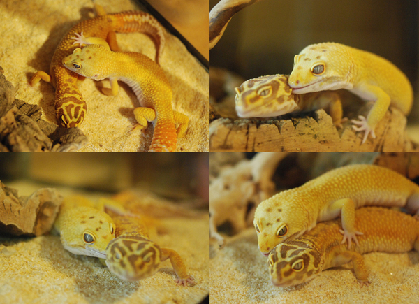 Gecko_pairing_03