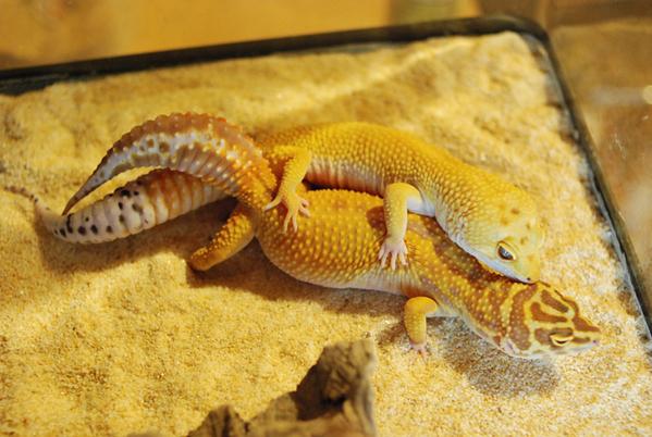 Gecko_pairing_04