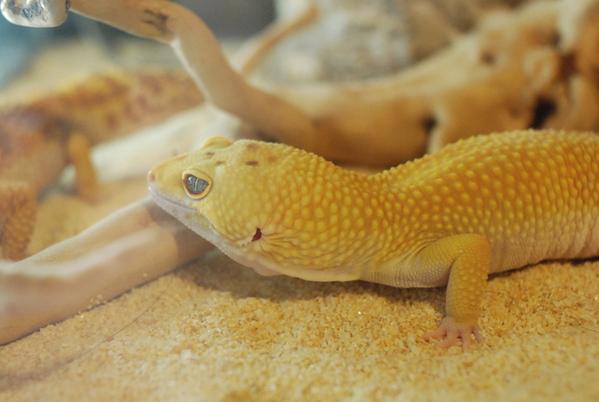 Gecko_pairing_08