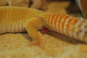 Gecko_pairing_09