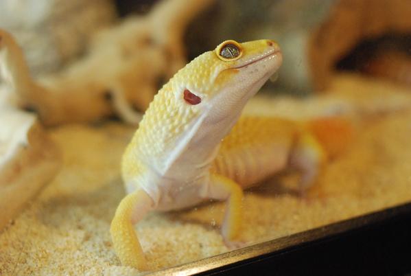 Gecko_pairing_11