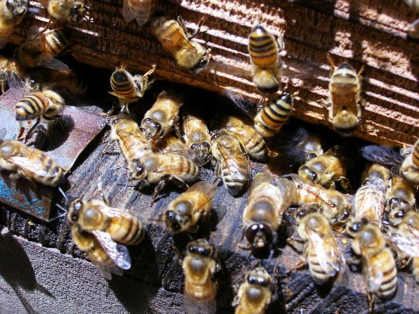 Honeybee_1_2