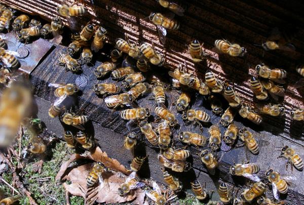Honeybee_3_2