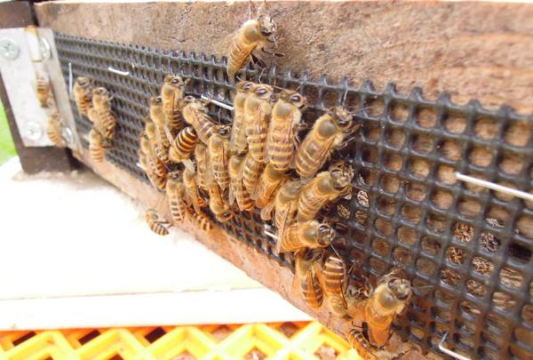 Honeybee_06