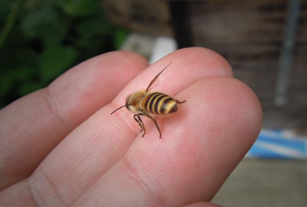 Honeybee_09