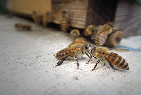 Honeybee_12