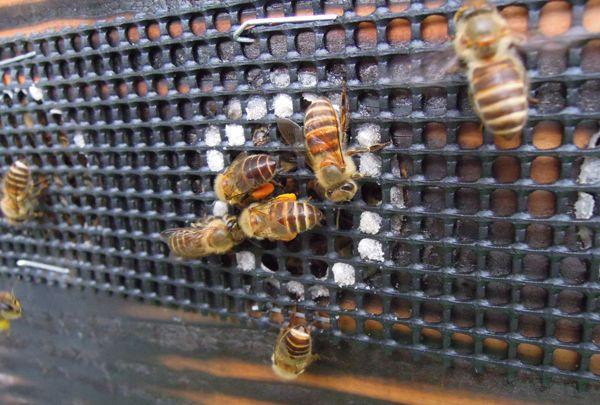 Honeyharvest_13