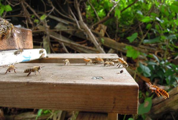 Bee_gatekeeper_00