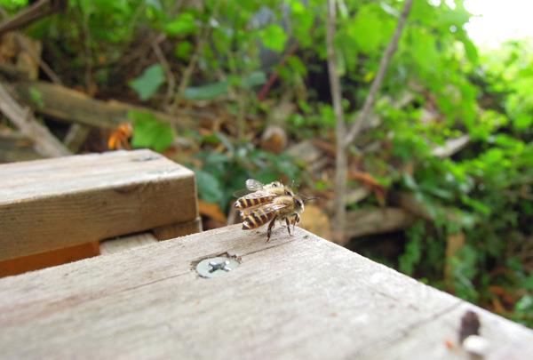 Bee_gatekeeper_01