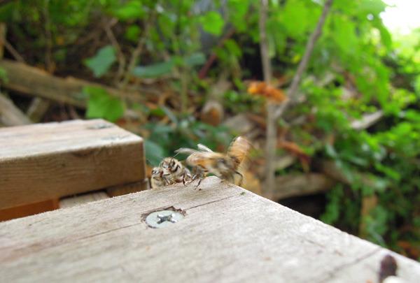 Bee_gatekeeper_02