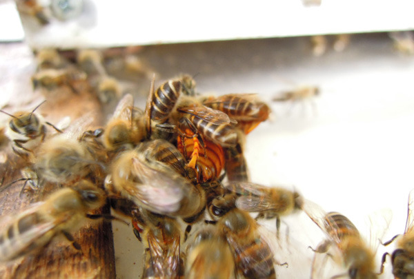 Bee_gatekeeper_03