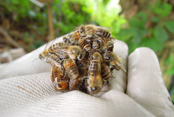 Bee_gatekeeper_05