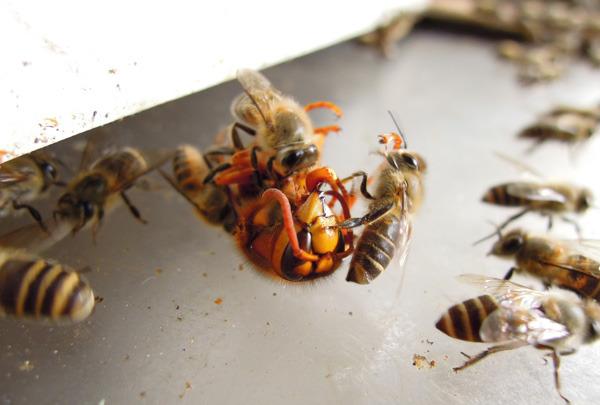 Bee_gatekeeper_06