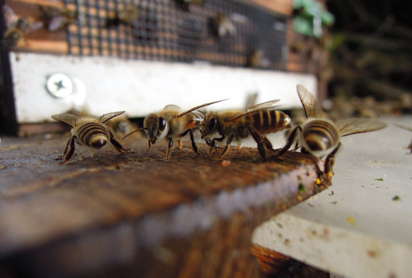 Bee_gatekeeper_07
