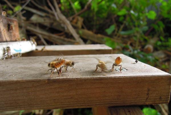 Bee_gatekeeper_09