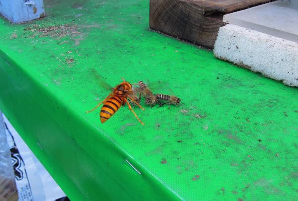 Bee_gatekeeper_10