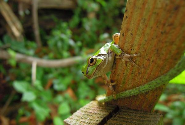 Bee_gatekeeper_frog_2