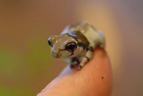 Milky_frog_3